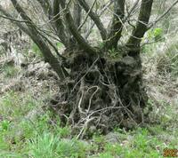 根っこが丸裸のようになったのは木の特徴ですか、 それとも池の土が削げたからですか? 岐阜県美濃加茂市杁ヶ洞池で 撮影20210415