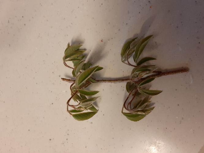これは何の植物の枝でしょうか。 庭にありました。 宜しくお願い致します。