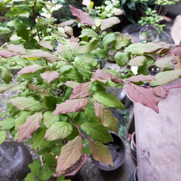 この植物はなんですか?何年か前に山から掘ってきたのを忘れてました。