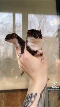すみませんTikTokで見たこの動物はなんという動物でしょうか?誰か教えていただけると嬉しいです。