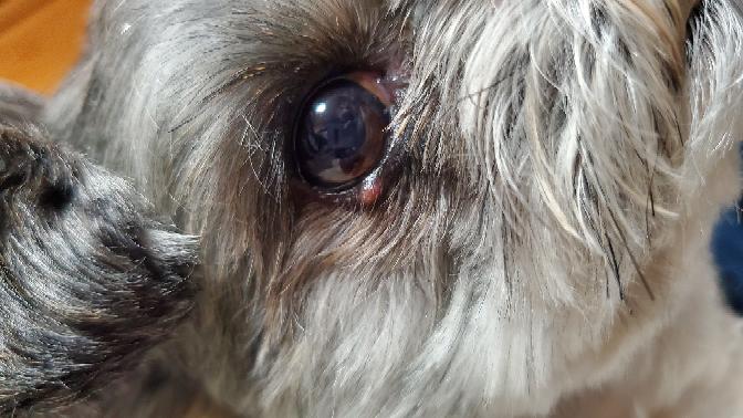 飼い犬の目の下にイボのようなものができているのですが、これは何か分かりますか? ここ数日でできました。犬種はチワワとビジョンフリーゼのミックスです。