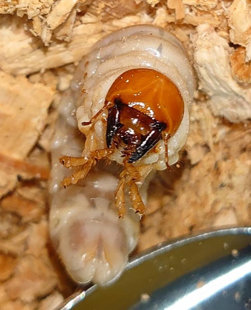 クワガタの幼虫で何のクワガタか判別出来る方よろしくお願いします。 先日、知人の山に行ったときに切株が邪魔だったので掘り返すとクワガタの幼虫が出てきました。 天然のクワガタの幼虫は捕まえた場所や環境で比較的どの種類のクワガタか判別しやすいと聞いたことがあります。 そこで、 ①日当たり良好 ②適度な湿気有り ③腐朽が進んだ切株にサルノコシカケのようなキノコがはえていた ④切株の種類は不明だが近くにある木は柿、梅、柑橘系 ⑤小さいのは一円玉程のから大きいのはカブトムシの幼虫より一回り小さい位の大きさまでいた ⑥全部で10匹程出てきた 以上の情報で種類が分かる方いらっしゃいましたらお願いします。