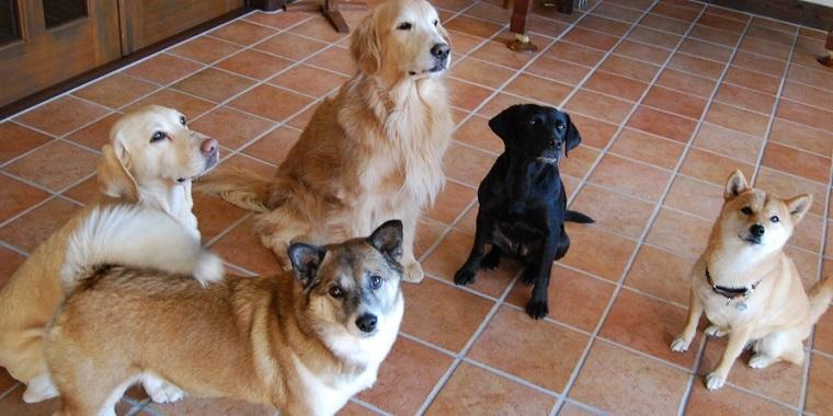 犬は自身がリーダーになることには拘らない? サルなどはこだわる? . 人間にとって犬は飼いやすい習性があると聞きました。 それは 『犬は群れ(家族)の誰がリーダーなのかを的確に見極めるけれども、自分自身がリーダーになることにはそれほどこだわらない』 ということなのだと。 それと、群れのリーダーのオスがメスを独占してしまうこともまずない。 そのために、犬は自分が群れ(家族)の中では序列が下位...