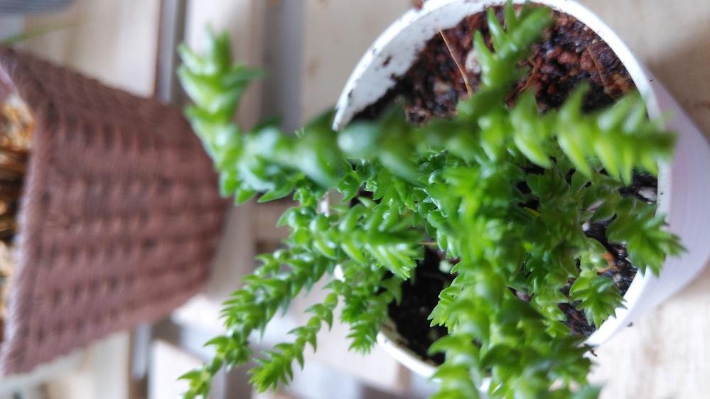 観葉植物の名前がわからない こんにちは。今日100均でこの観葉植物を買ってきました。 タグには観葉植物としか記載がなく名前がわかりません。よろしくお願いしたします。