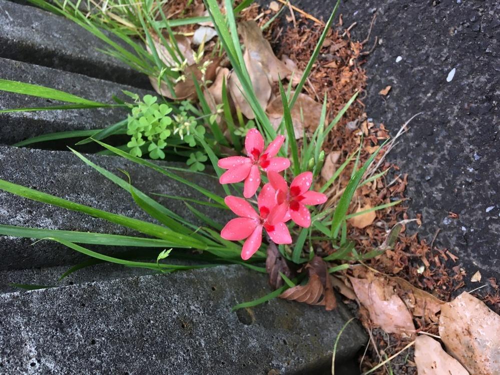この花の名前はなんでしょうか? 公園にここにだけ、咲いていました。あまり見たことのない花でしたので、ご存知の方、是非教えてください! よろしくお願いします。