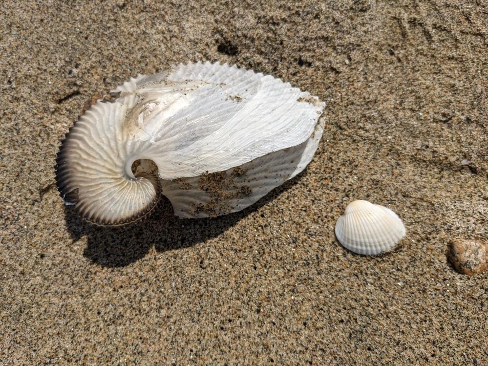 佐賀県唐津の砂浜で見つけた貝殻です。 こんな貝がいるのでしょうか?
