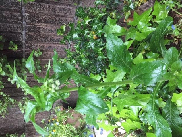 この植物の名前を教えていただけますか。春になって家の玄関脇の大きな植木鉢で育ってました。 まだお花が咲いてませんのでわかりにくいかもしれませんが、よろしくお願いいたします。
