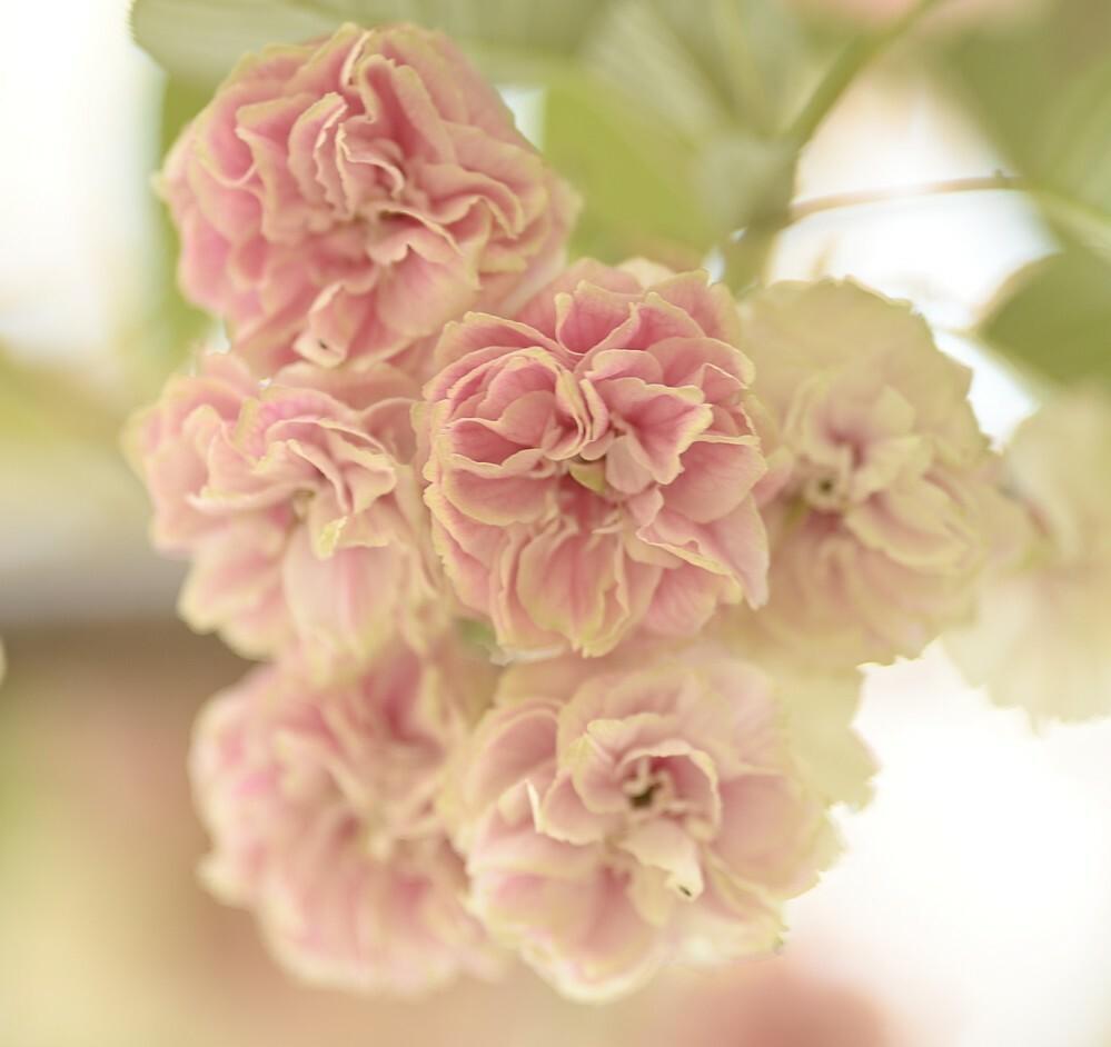 この桜の名前を教えてください