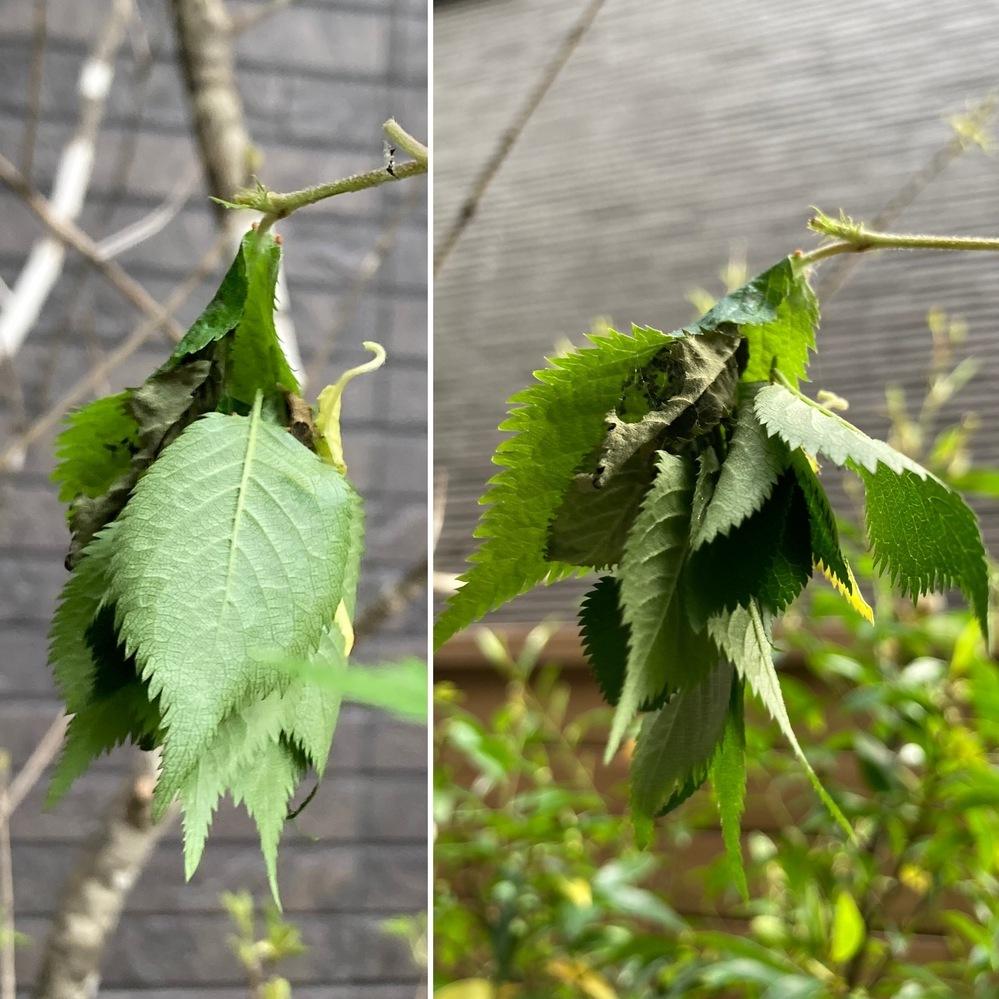 虫の名前を教えてください 先日、庭にある木の先端についてる葉が何枚か不自然に重なっていることに気付きました。 よく見てみると木から落ちた葉同士がなんらかの方法でくっついており、 中には毛虫のようなものがいました。 葉の間には細かい糸のようなものも見えました。 葉を重ねたものを巣とする虫がいるんでしょうか、、? 害虫であれば、小さな子もいるので不安です。。 ぜひ教えていただきたいです。
