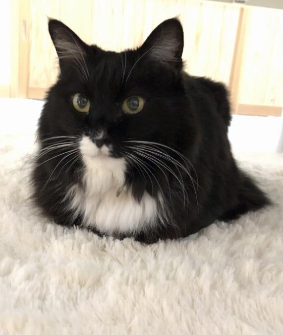 猫の種類で、メインクーンとノルウェージャンフォレストキャットは似ていて見分け方がわからなかったので違いを調べてみたところ、 鼻筋が丸いか真っ直ぐか、耳の先端の飾り毛があるかないか、だと分かりました。 でもやっぱり見分けるのが難しいです。 この子はどっちだと思いますか? 特徴は、 ・体が大きい(犬と間違われたことがある) ・長毛 ・ひげも長い ・しっぽは太くて長くてフサフサ ・性格は穏やかで賢...