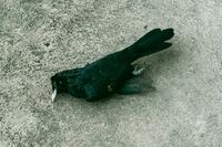 写真の鳥の名前は何ですか?  すでに死んでいたのですが、赤い目が印象的でした