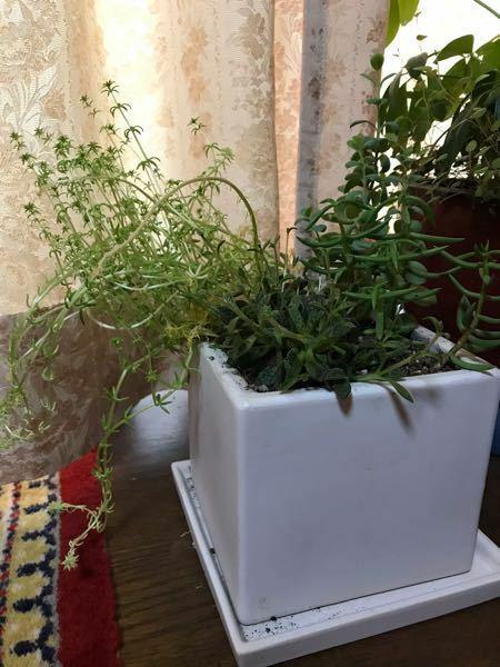 多肉植物について この左側の多肉植物はグングン伸びて、葉が 小さく細くなりました。 このお手入れはどうしたらいいですか?