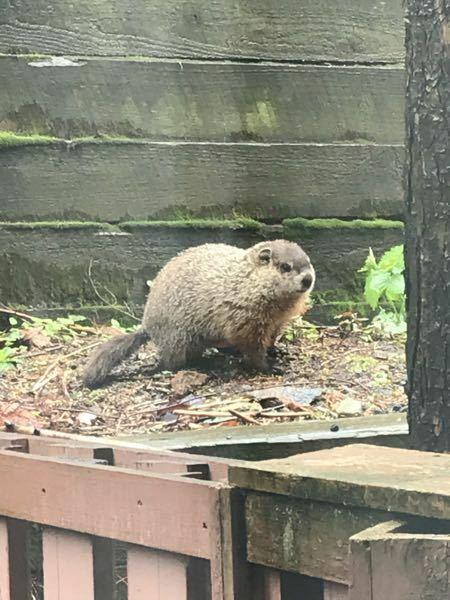 この動物は何でしょうか? ニュージャージーに住んでいた時に、庭に良く居ました。