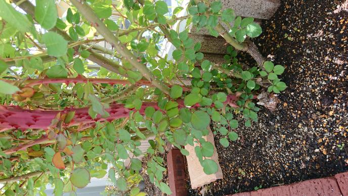 バラのシュートについて 園芸3年目、バラも3年目 今朝気がついたのですが、ものすごく太い?シュートがでています。 厚みは普通ですが、幅が3本分くらい。 このようなものは根元から切ったほうがよいのでしょうか? なにか原因はありますでしょうか? 画像は横になっていますが、赤くて太いシュートです