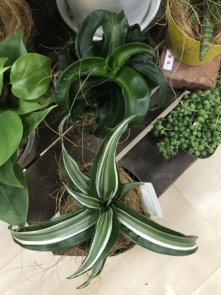 写真中央の2種類の植物名分かりますか? ドラセナ・トルネード?