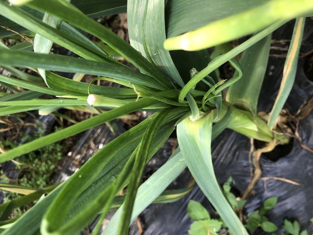 ニンニクを家庭菜園で栽培中です。芽は切り取り済みですが、若い新芽?がたくさん生えてます。 肥料のバランスが悪いのでしょうか? 元肥は完熟牛糞とニンニク専用の肥料を適量与えました。