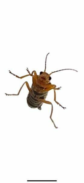 可愛い顔の虫がいたのですが、なんの虫なんでしょうか? わかる方いますか? 大きさは1cmぐらいです。