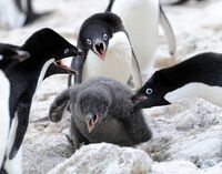 親を失った子ペンギンは、子を失った親ペンギンから育ててもらえるのですか?  . 以前、テレビでペンギン特集を見たのですが、南極など極寒の地を生きているペンギンたちは子供を育てようとする本能がとても強い...