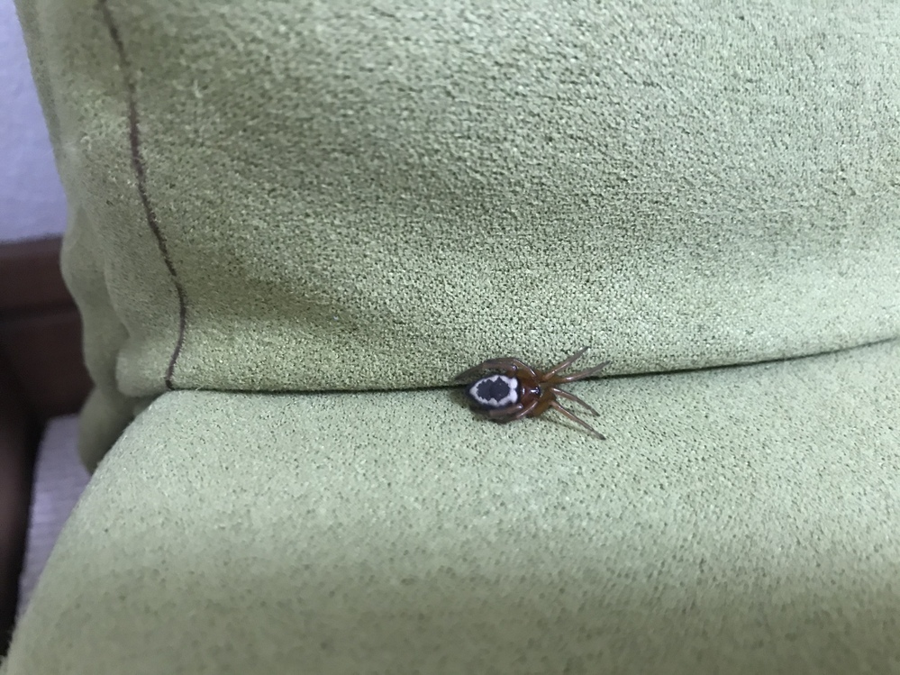 質問です。 この写真の蜘蛛はなんですか? 家の中のソファーの隙間にいました。 また、害などありましたら教えてください。