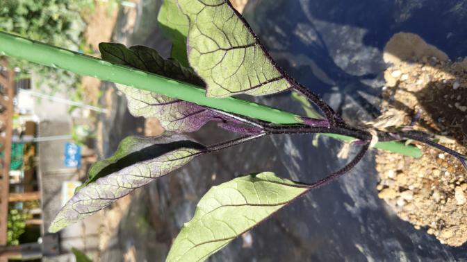 1週間前に植えたナスの苗ですが写真のように葉っぱがまるかって来ました。何が原因なのでしょうか? 植える前の肥料は規定通りしました。