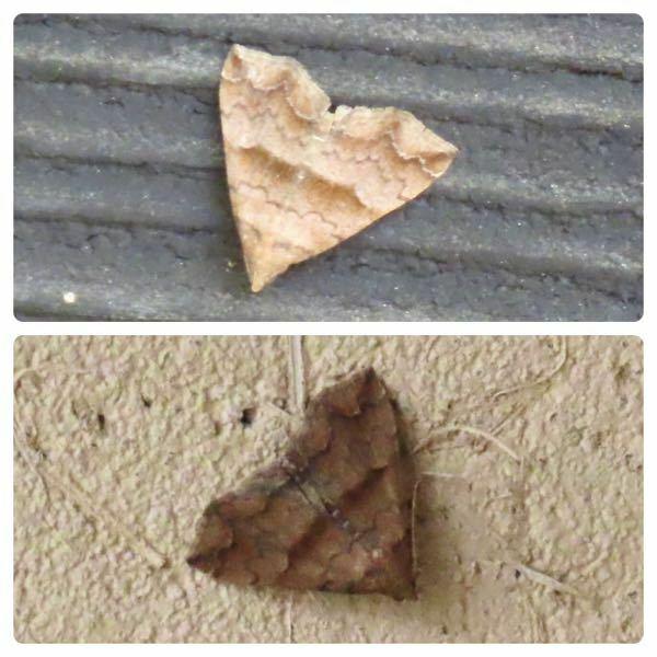 蛾の種類 写真の蛾について 種類が分かる方、ご教示ください。 昨日福岡県で撮影したものです。 上下別個体となります。それぞれ違う種類である場合は、併せてご指摘ください。