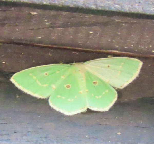 蛾の種類 写真のアオシャクについて 種類が分かる方、ご教示ください。 昨日福岡県で撮影したものです。