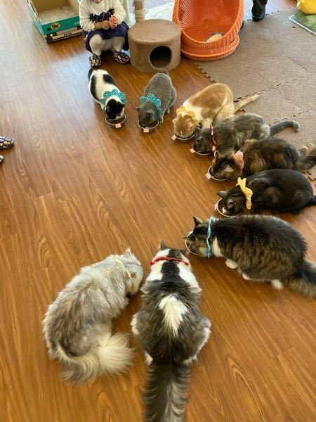 奥にいる首に青いやつをつけてる猫の種類を教えてください。