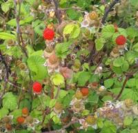 写真の野イチゴは ⚫️クサイチゴ ⚫️ニガイチゴ ⚫️モミジイチゴ ⚫️クマイチゴ ⚫️ナワシロイチゴ ⚫️バライチゴ ⚫️フユイチゴ ⚫️ヘビイチゴ のどれだと思いますか?