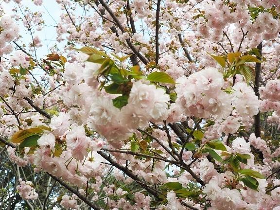 この桜の種類を教えてください。(それとも桜ではない種類でしょうか)。 4月初めに千葉で撮影したものです。