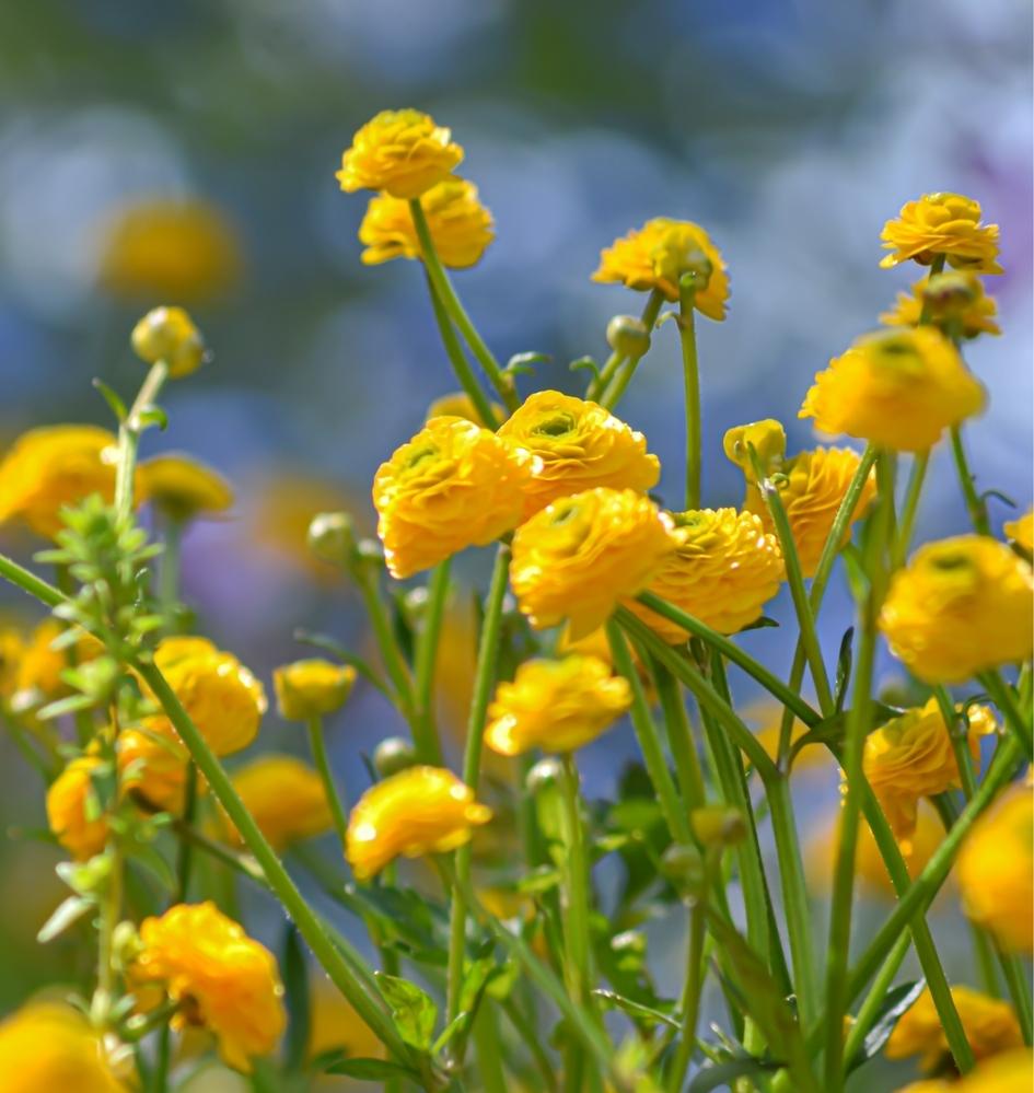 この写真のお花の名前を教えてください! 親指の先ぐらいの小さなお花です。楼のようにツヤツヤしていて、形はラナンキュラスや乙女椿みたいなかんじでした。 よろしくお願いいたしますm(*_ _)m