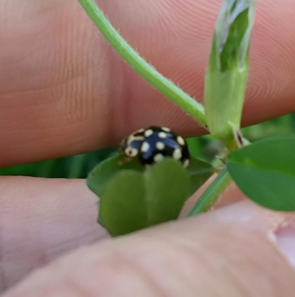 庭で見つけたテントウムシの種類を教えてください。 子供と虫取りをしていたところ、ナナホシテントウにまじって白黒のテントウムシがいました。 大きさはナナホシと同じぐらいで、カラスノエンドウにくっついていました。 なんという種類なのかわかる方、お教えください。 お願いいたします。