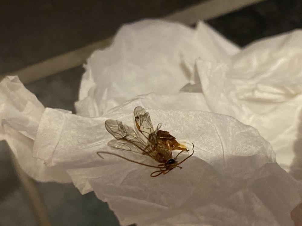 家に入ってきた虫を手掴みで捕まえたら刺されました。噛まれた? 1.5〜2cmくらい、触覚が長くて羽根もありました。 いまだに痛みと痺れが残ります… この虫はなんていう虫でしょうか?害はあるんでしょうか? 虫刺され、怖いです。