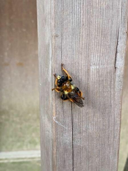 この虫の名前を教えてください。 キモすぎてたまりません。