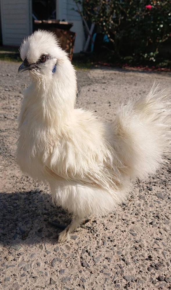 烏骨鶏について教えてください。 烏骨鶏の有精卵を孵卵器にて人口孵化させ 雛が孵りました。 個体の羽の色ですが、 純白とクリーム色の二種類産まれました。 この羽の色の違いを教えてください。 よろしくお願いいたします。 ちなみに有精卵は純血です。 親鳥の写真です↓