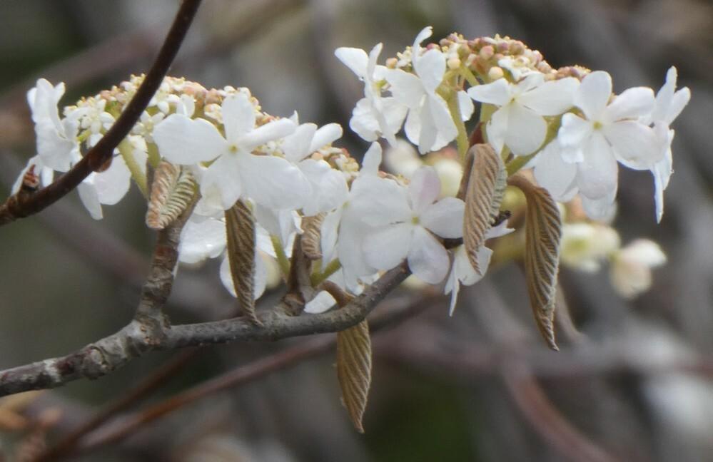 画像の花の名前を教えていただけませんか?4月18日広島県北広島町、聖湖でみました。背の高い木に咲いてました。
