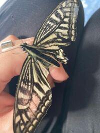 昆虫に詳しい方いらますか? 蝶々です。アゲハ蝶?  虫に関してまったくわからないのですが 我が家の猫が捕まえてしまい、ボロボロになってしまいました。 もう飛べませんよね… とっさに手をだすと乗ってきたので...