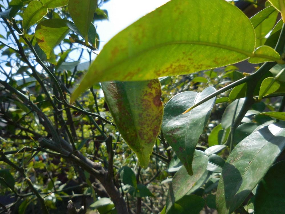 ゆずの葉のこれは病気でしょうか?