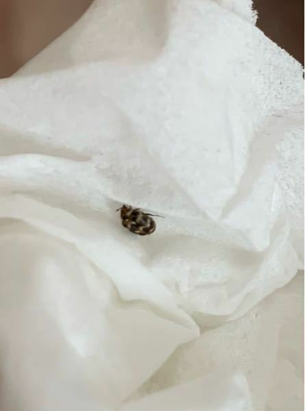 この虫は何ですか?最近家の中でたくさん見かけます。
