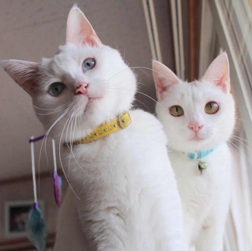 白い猫さん、毛が純白で清潔でもふもふして、かわいいですよね?