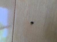 この虫は何という虫でしょうか? てんとう虫の赤ちゃんかなぁ、と思ってGoogleサーチしてみたら、ホクロ除去となんとかエボシっていう虫が出できたんですが。