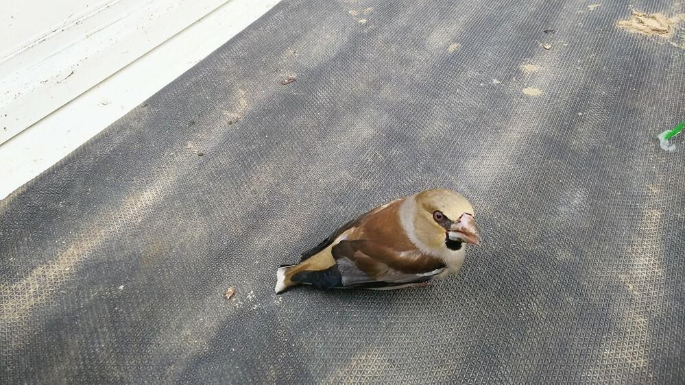 この鳥は何て鳥ですか? 羽を痛めて飛べない状態でした。野性動物なので保護できず、気になってます。 場所は北海道です。