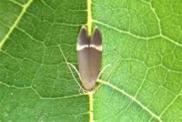 この小さな蛾の名前教えて下さい。