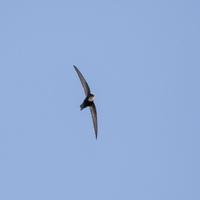 この鳥の名前を教えてください。 多摩川で撮影しました。