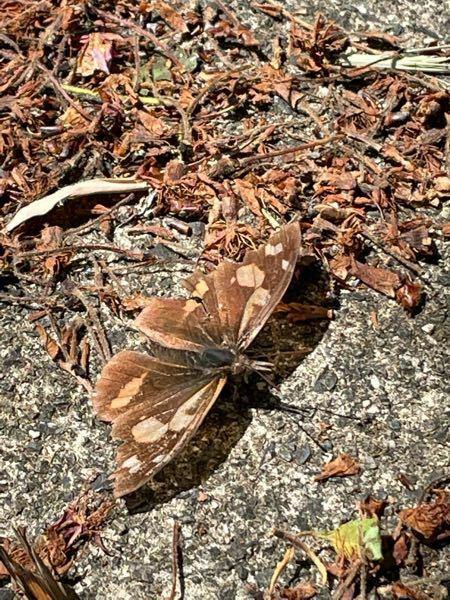 この蛾はなんというのでしょうか?