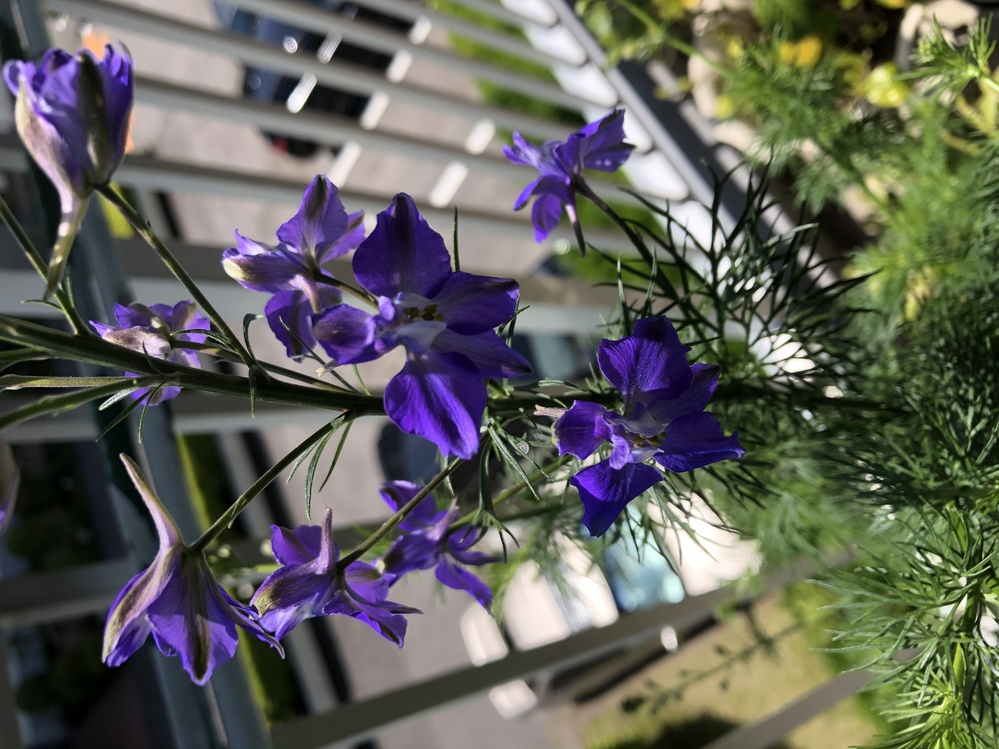 この花の名前をご存知な方はいらっしゃいますか? 棚もまかないのに生えてきたらしいです。 あっという間に大きくなったのだとか…。 丈は60センチ位かな?