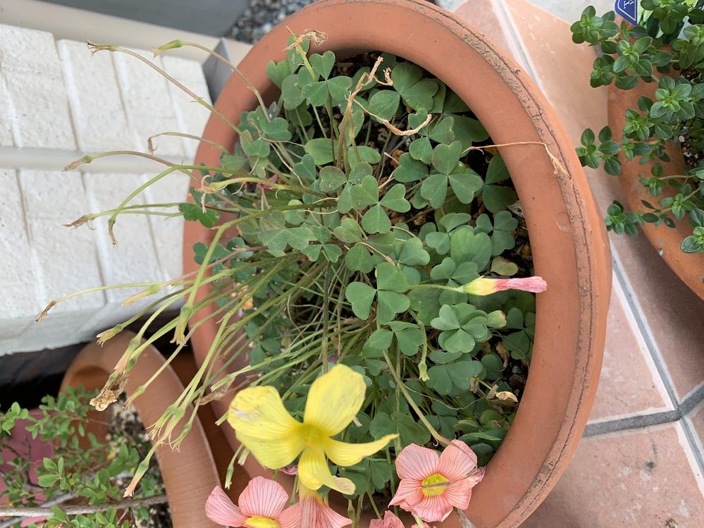 オキザリス。 黄色の方は花が咲かなくなりました。 ピンクも花が咲かなくなったら、 どうすれば、良いですか? 植えっぱなしで⭕️ですか? 二月に買ってきた苗です。