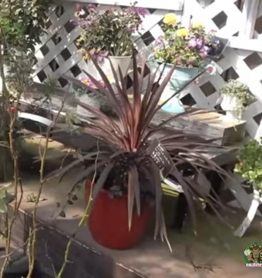 この植物の名前が知りたいです。 寒冷地の冬でも戸外で管理しているようです。 宜しくお願いします。