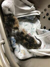 ベランダに生まれて間もないと思われる子猫(ネズミほどの大きさ)を保護しました。 親猫が移動途中に置いているのと思い1日放置してましたが結局そのままでしたので、保護しました。  このままだと死ぬと思うのですがどうするのが適切でしょうか?