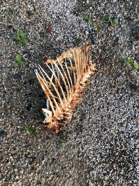 この骨はなんの骨ですか? 道に落ちていて、大きさは小さめの猫くらいに感じます。