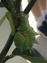 レモンの木にいました。アゲハとは違い、背中に突起があり、顔が薄茶色で、食べる時以外は丸まっています。長さは5センチくらいです。 これはいったい何の幼虫でしょうか?